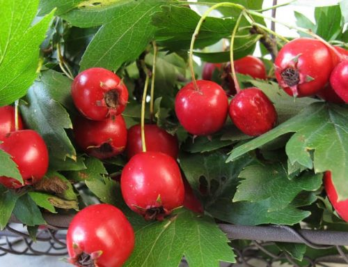 Hawthorn, a Magical Herb for Heart Health