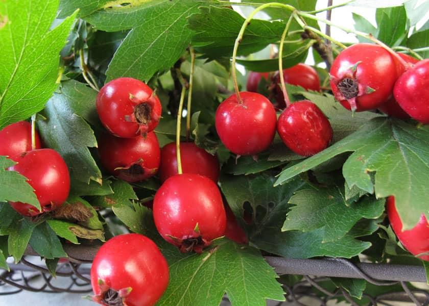 Hawthorn, a Magical Herb for Heart Health